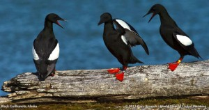 Photo of Black Guillemots