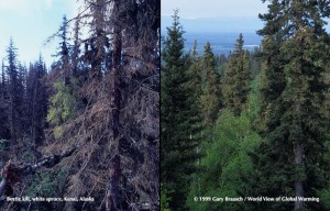 Picture of Sprucebark Beetle Kill