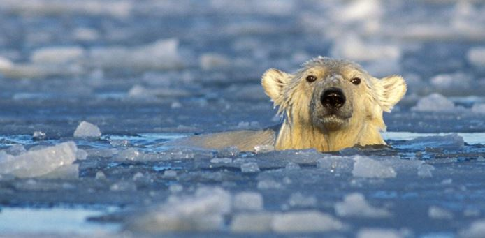 Polar Bear swimming & Link to how warming affects polar bears