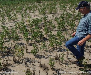 Drought-stunted soybeans in Missouri 2012. Used by permission of Gary Braasch. Click picture to enlarge.